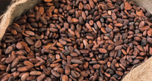 Tumble of global cocoa price causes Ghana $1bn deficit – COCOBOD