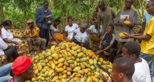Ghana: Gov't increases cocoa producer price by 28%